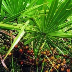 Erosept w składzie ma jagody palmy sabałowej które wpływają na wzrost poziomu testosteronu